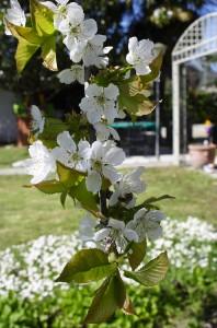 ramo-ciliegio